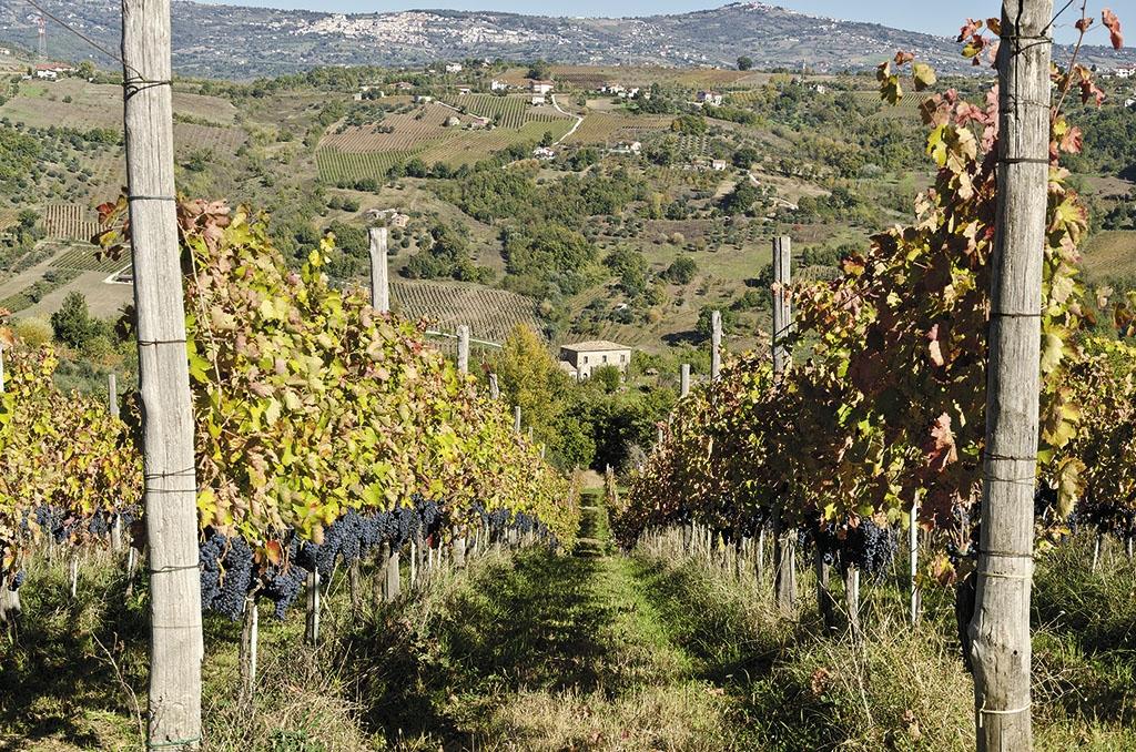 Le vigne Salvatore Molettieri